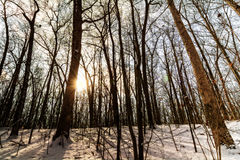 Winter Forest Sunrise Stock Photography