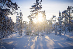 Winter forest. Sunrise, soft blue and pink tones. Royalty Free Stock Images