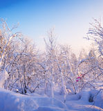 Winter forest. Sunrise, soft blue and pink tones. Stock Photo