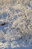 Winter forest sunset landscape - winter plants at the sunset Stock Photos