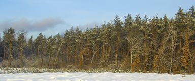 Winter forest with sunset lighting. Web site banner. Royalty Free Stock Photos