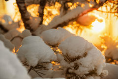 winter forest at sunset Royalty Free Stock Image