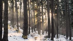 Winter forest sunset sun ray beams and falling snow. Static view stock video footage