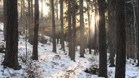 Winter forest sunset sun ray beams and falling snow, static view. Winter forest sunset sun ray beams and falling snow, static wide view stock video