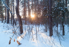 Winter forest at sunset. Sun shine brightly through the trees stock photos