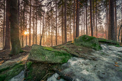Winter forest sunset Stock Image