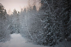 Winter forest. At sunset, sunrise Stock Photos