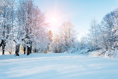 Winter forest. Sunset in the forest between the trees strains in winter period Stock Photos
