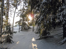 Winter in the forest. Sunshine in winter in the forest Royalty Free Stock Photos