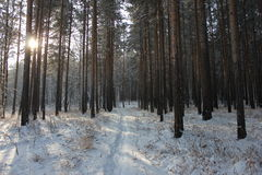 Winter forest. Sunshine in the winter forest Royalty Free Stock Images