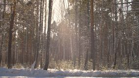 Winter forest on sunshine background. Snowfall in sunny forest at winter day stock video footage