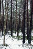 Winter forest. A swamp forest at winter in Lithuania Royalty Free Stock Image
