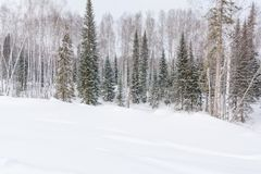 Winter forest, taiga. Forest in winter in Siberia. Taiga pines in the winter. Trees under the snow. royalty free stock images