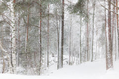 Winter forest with tall trees. After snow storm stock photo