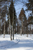 Winter forest and track Royalty Free Stock Photo
