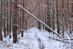 Winter forest tree trunks. Dam logs in the forest royalty free stock image