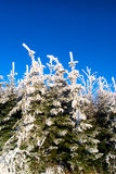 Winter forest trees. Spruce trees under snow and blue sky, nature background Royalty Free Stock Photo