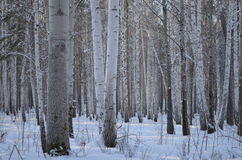 Winter forest. Trees in the winter forest Royalty Free Stock Photos