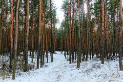 Winter forest. Trees in the winter forest Stock Photo