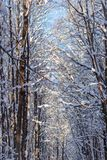 Winter. Forest trees covered with fresh fluffy snow. Winter, forest trees covered with fresh fluffy snow stock photography