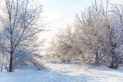 Winter forest, the trees covered with frost Royalty Free Stock Photos