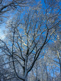 Winter forest trees covered with snow and blue sunny sky. Winter forest trees tops covered with snow against blue sunny sky Stock Photos