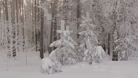 Winter forest. Trees covered snow. Frost branches. Cold stock video