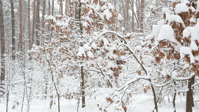 Winter forest. Trees with dry leaves under the snow. Winter landscape in the forest. Oak trees with dry leaves under the fresh snow stock video