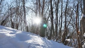 Winter forest trees in nature the snow glare of sun, sunlight landscape stock video