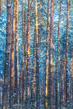 Winter Forest Trees  Nature Snow Woods Royalty Free Stock Photo