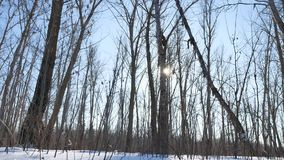 Winter forest trees in the snow glare of the sun, nature sunlight landscape stock footage
