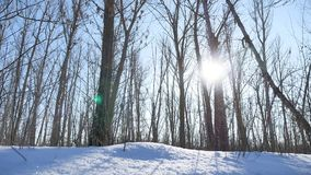 Winter forest trees in the snow glare of the sun, sunlight landscape nature stock video