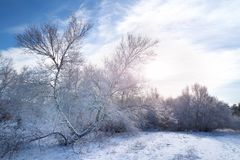 Winter forest trees in snow Royalty Free Stock Photography