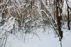 Winter forest with trees under the snow. Trees and branches under snowdrifts in the winter forest Stock Image