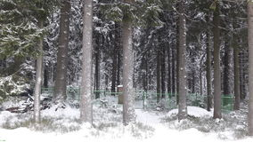 Winter forest. The trunks of huge fir trees in winter forest Stock Image