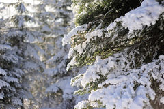 Winter forest. Under the snow in the mountains Stock Photos