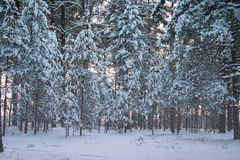 Winter forest under snow Stock Photo