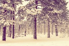 Winter Forest Vista Royalty Free Stock Photography