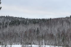 Winter forest. Walk in the beautiful winter forest Stock Photography