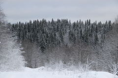 Winter forest. Walk in the beautiful winter forest Stock Photo
