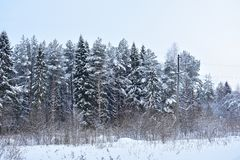 Winter forest is a wall. The branches of tall trees barely withstand the load of snow. Gusts of icy wind swaying branch and a slide of snow falls down royalty free stock photo