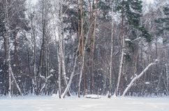 Winter forest. Wall of trees with snow covered branches stock photo