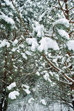 Winter forest. White snow lies on the spruce branches in the winter forest Royalty Free Stock Photography
