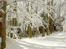 Winter Forest With Snowy Beech Trees Stock Images