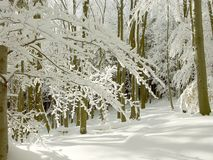Free Winter Forest With Sun Rays Through The Trees Stock Photos - 8390143