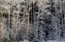 Winter Forrest Stock Image