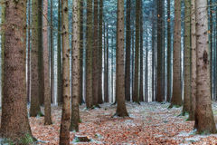 Winter Forrest Stock Photo