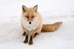 Winter fox. A wild fox in the snow, looking straight into the camera royalty free stock photography