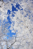 Winter framework. White frozen trees and blue sky Stock Photos