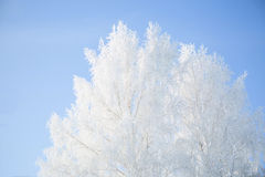 Winter framework. White frozen trees and blue sky. Stock Image